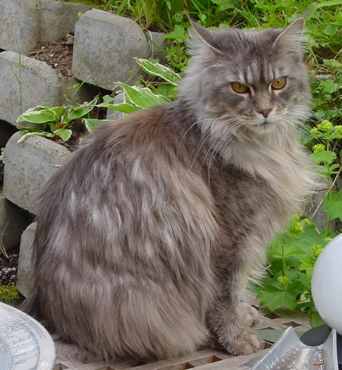 Ses grandes oreilles ont une touffe de poil à leur extrémité. Ses poils sont très épais et longs. Ce chat est intelligent et calme, mais ne supporte pas